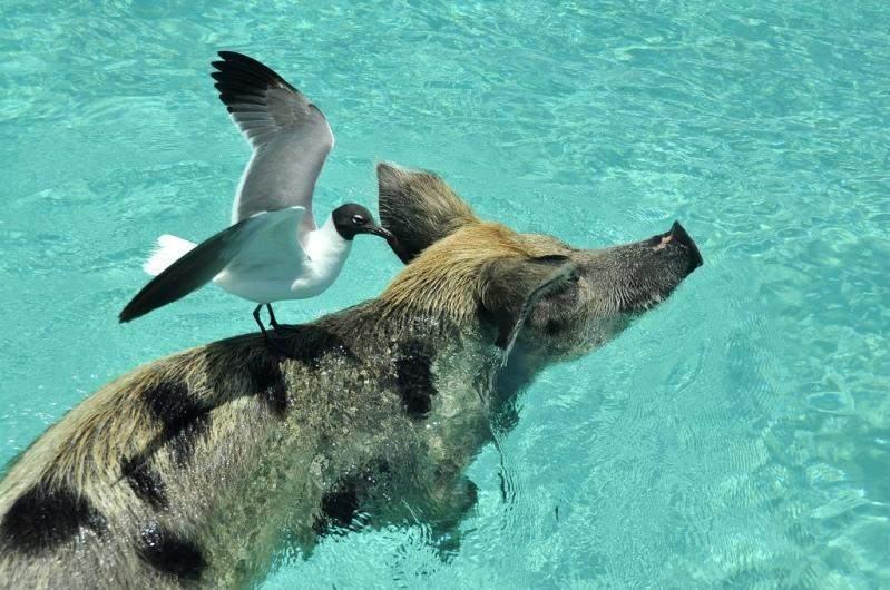 The amazing swimming pigs of Big Major Cay » Tripfreakz com
